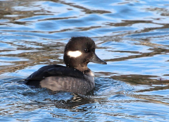 Photo by Chris Bosak A female Bufflehead swims in Gorham's Pond, Nov. 2014.
