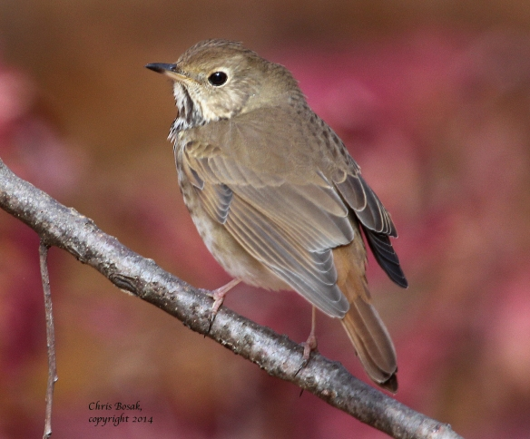 Photo by Chris Bosak A Hermit Thrush perches on a branch at Selleck's/Dunlap Woods this fall.