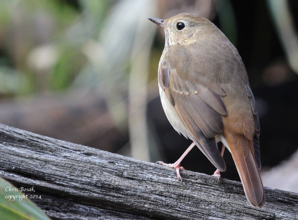 Photo by Chris Bosak A Hermit Thrush rests on a log at Selleck's/Dunlap Woods this fall.