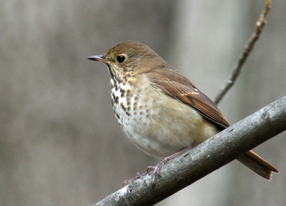Photo by Chris Bosak A Hermit Thrush perches on a branch at Selleck's/Dunlap Woods .