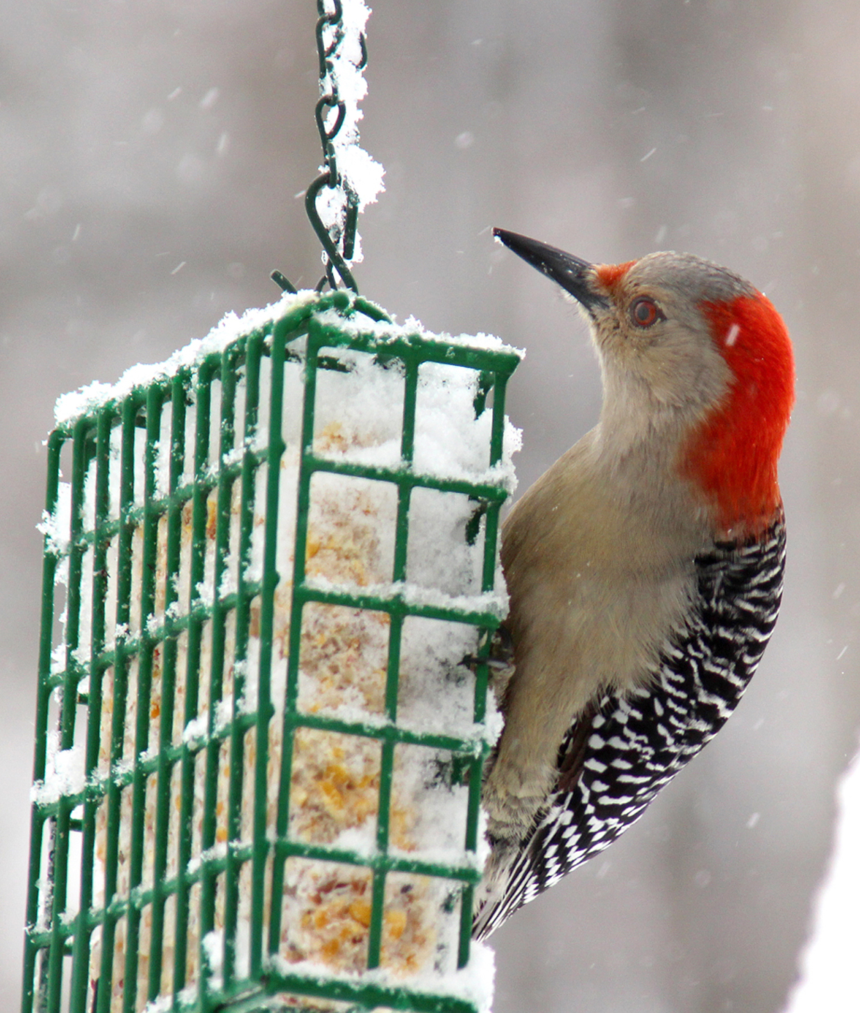 Photo by Chris Bosak A Red-bellied Woodpecker visits a suet feeder during a snow storm.