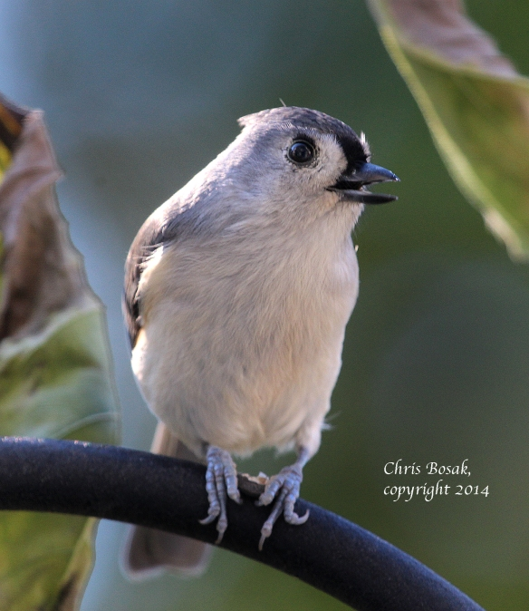 Photo by Chris Bosak A Tufted Titmouse perches on a pole near a birdfeeding station, Oct. 2014.