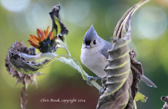 Photo by Chris Bosak A Tufted Titmouse perches on a sunflower stalk near a birdfeeding station, Oct. 2014.