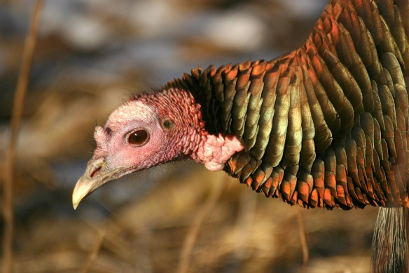 Photo by Chris Bosak Wild Turkey in New England, Jan. 2013.