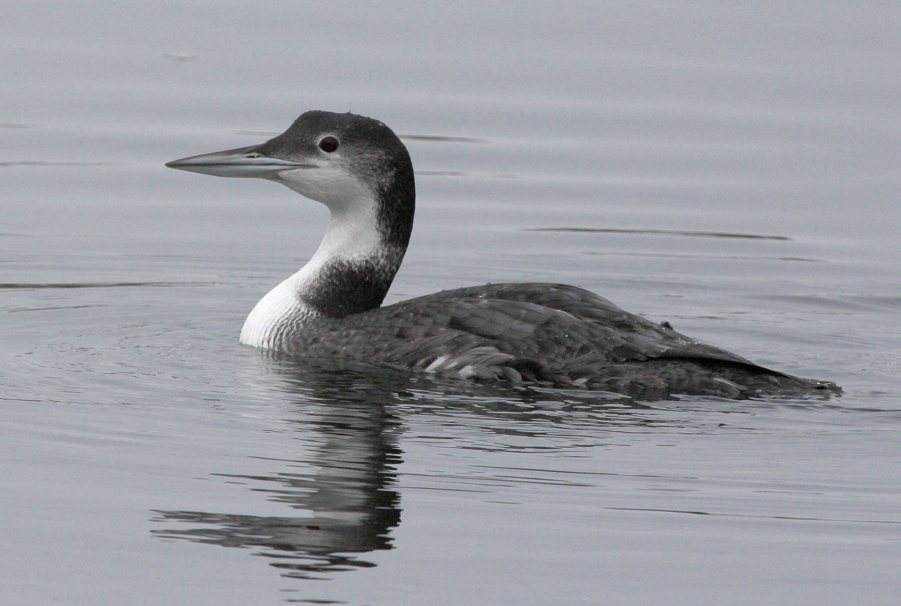 Photo by Chris Bosak A Common Loon swims in Long Island Sound in Darien on Thanksgiving Day (Nov. 27), 2014.