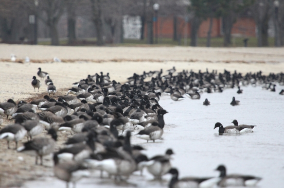 Photo by Chris Bosak Brant at Calf Pasture Beach in Norwalk, Conn., seen during the 115th Christmas Bird Count.