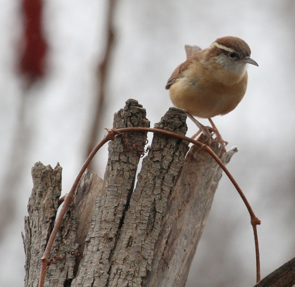Photo by Chris Bosak Carolina Wren at Taylor Farm in Norwalk, Conn., seen during the 115th Christmas Bird Count.