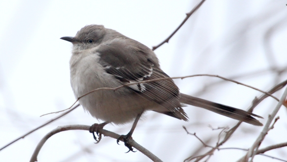 Photo by Chris Bosak Northern Mockingbird at Taylor Farm in Norwalk, Conn., seen during the 115th Christmas Bird Count.