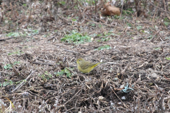Photo by Chris Bosak Palm Warbler seen during Christmas Bird Count at Oyster Shell Park in Norwalk, Dec. 2014.