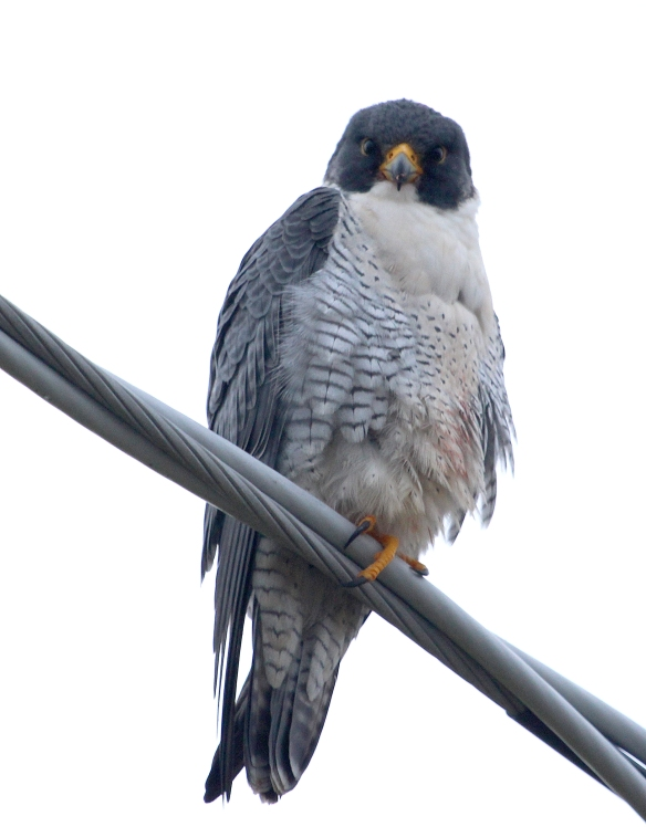 Photo by Chris Bosak Peregrine Falcon at Veterans Park in Norwalk, Conn., seen during the 115th Christmas Bird Count.