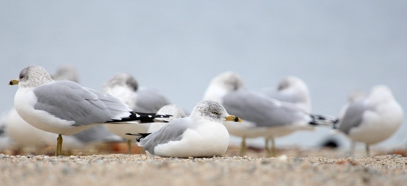 Photo by Chris Bosak Ring-billed Gulls at Calf Pasture Beach in Norwalk, Conn., seen during the 115th Christmas Bird Count.