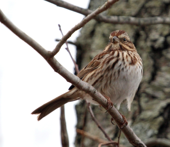 Photo by Chris Bosak Song Sparrow at Taylor Farm in Norwalk, Conn., during the 115th Christmas Bird Count.