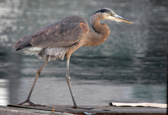 Photo by Chris Bosak A Great Blue Heron walks along a dock near the Norwalk River on Wednesday, Dec. 17, 2014.