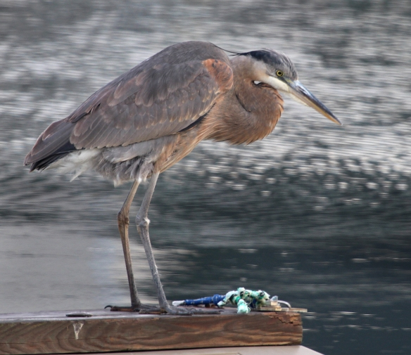Photo by Chris Bosak A Great Blue Heron stands on a dock near the Norwalk River on Wednesday, Dec. 17, 2014.