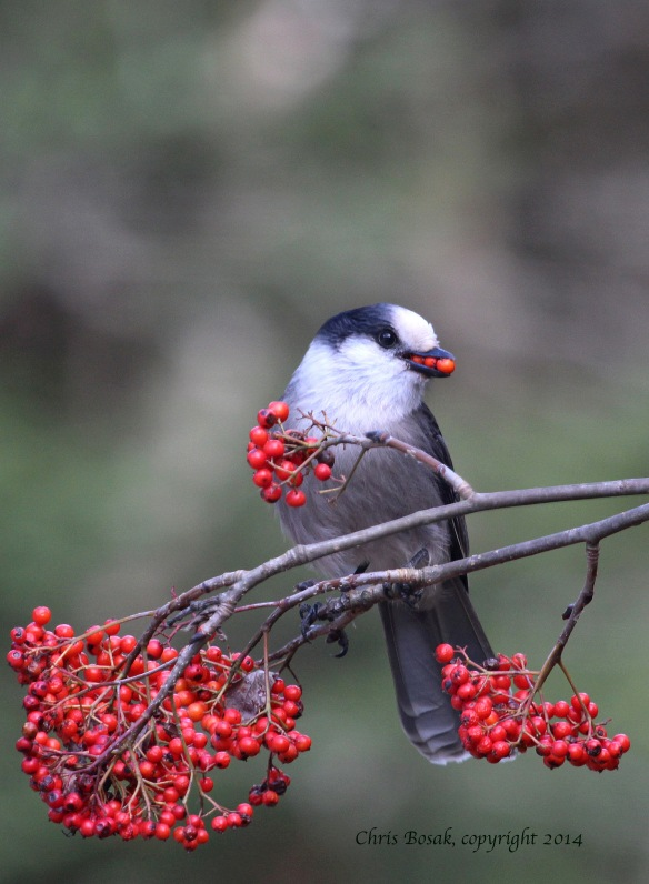 Photo by Chris Bosak Gray Jay with berries, northern New Hampshire, fall 2013.