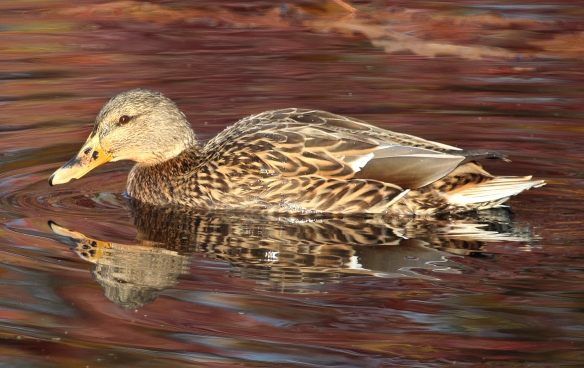 Photo by Chris Bosak A female Mallard swims in a small pond in Darien, Conn., Dec. 2014.