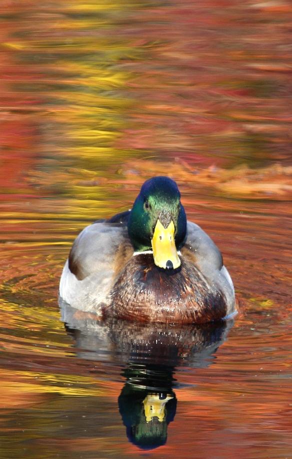 Photo by Chris Bosak A Mallard swims in a small pond in Darien, Conn., Dec. 2014.