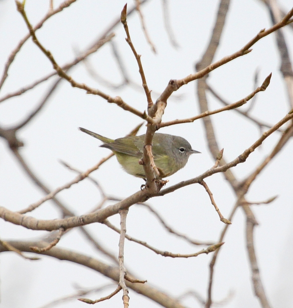 Photo by Chris Bosak Orange-crowned Warbler at Oyster Shell Park during 2014 Christmas Bird Count.