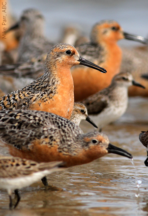 Red Knot, from American Bird Conservancy.