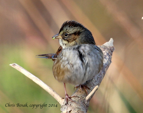 Photo by Chris Bosak A Swamp Sparrow perches on a branch at Cove Island Wildlife Sanctuary, fall 2014.