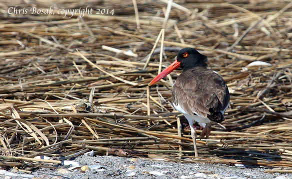 Photo by Chris Bosak An American Oystercatcher walks along the beach at Milford Point in Connecticut, April 2014.