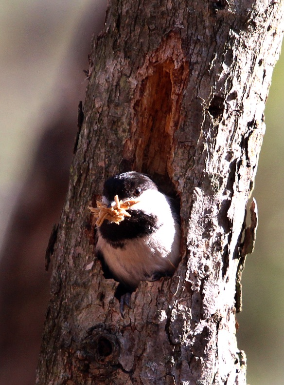 Photo by Chris Bosak A Black-capped Chickadee clears out a cavity in a tree for a nesting site at Selleck's/Dunlap Woods in Darien in spring 2014.