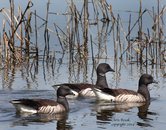 Photo by Chris Bosak A flock of Brant swims in the marshlands of Milford Point in Milford, Conn., April 2014.