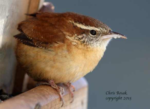 Photo by Chris Bosak A Carolina Wren perches on a feeder in New England in January 2015.