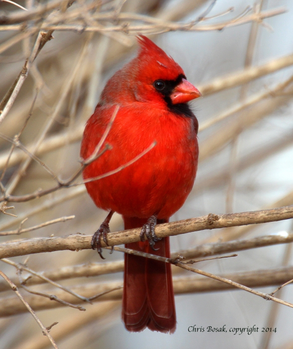 Photo by Chris Bosak A Northern Cardinal perches on a branch in New England in spring 2014.