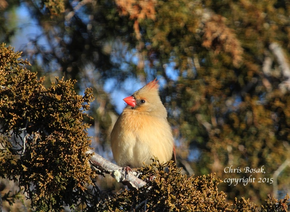 Photo by Chris Bosak A female Northern Cardinal perches in a cedar tree at Weed Beach in Darien, Conn., in Jan. 2015.