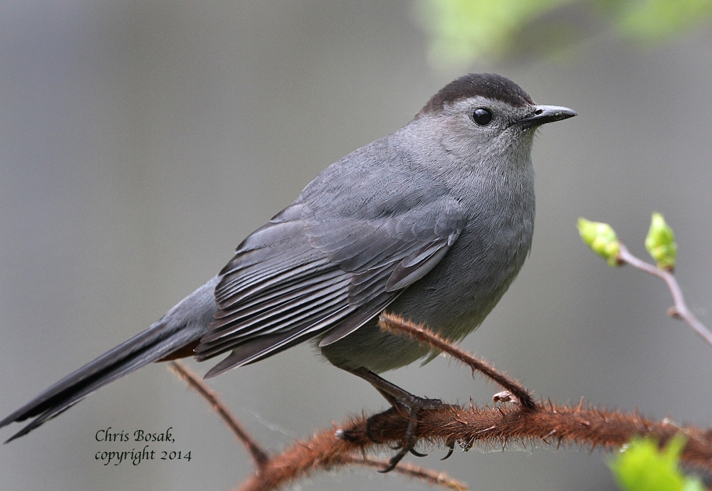 Photo by Chris Bosak A Gray Catbird perches on a thorny branch in Selleck's/Dunlap Woods in summer 2014.