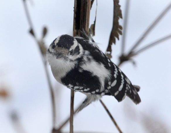 Photo by Chris Bosak A female Downy Woodpecker perches next to a birdfeeder in New England, Jan. 2015.