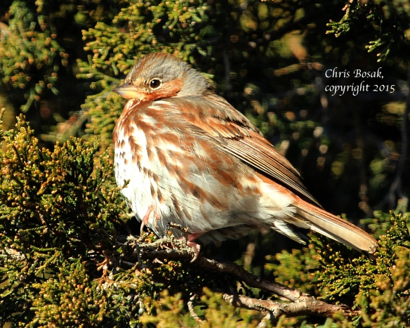 Photo by Chris Bosak A Fox Sparrow perches in a cedar tree at Weed Beach in Darien, Conn., in Jan. 2015.