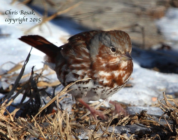 Photo by Chris Bosak A Fox Sparrow scratches on the ground for weed seeds at Weed Beach in Darien, Conn., in Jan. 2015.