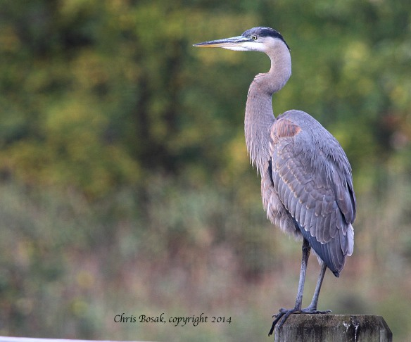Photo by Chris Bosak A Great Blue Heron stands on a piling along the Norwalk River, fall 2014.