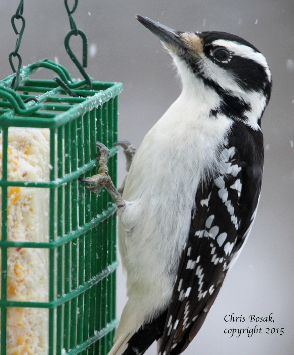 Photo by Chris Bosak A female Hairy Woodpecker clings to a suet feeder as snow falls in Jan. 2015.