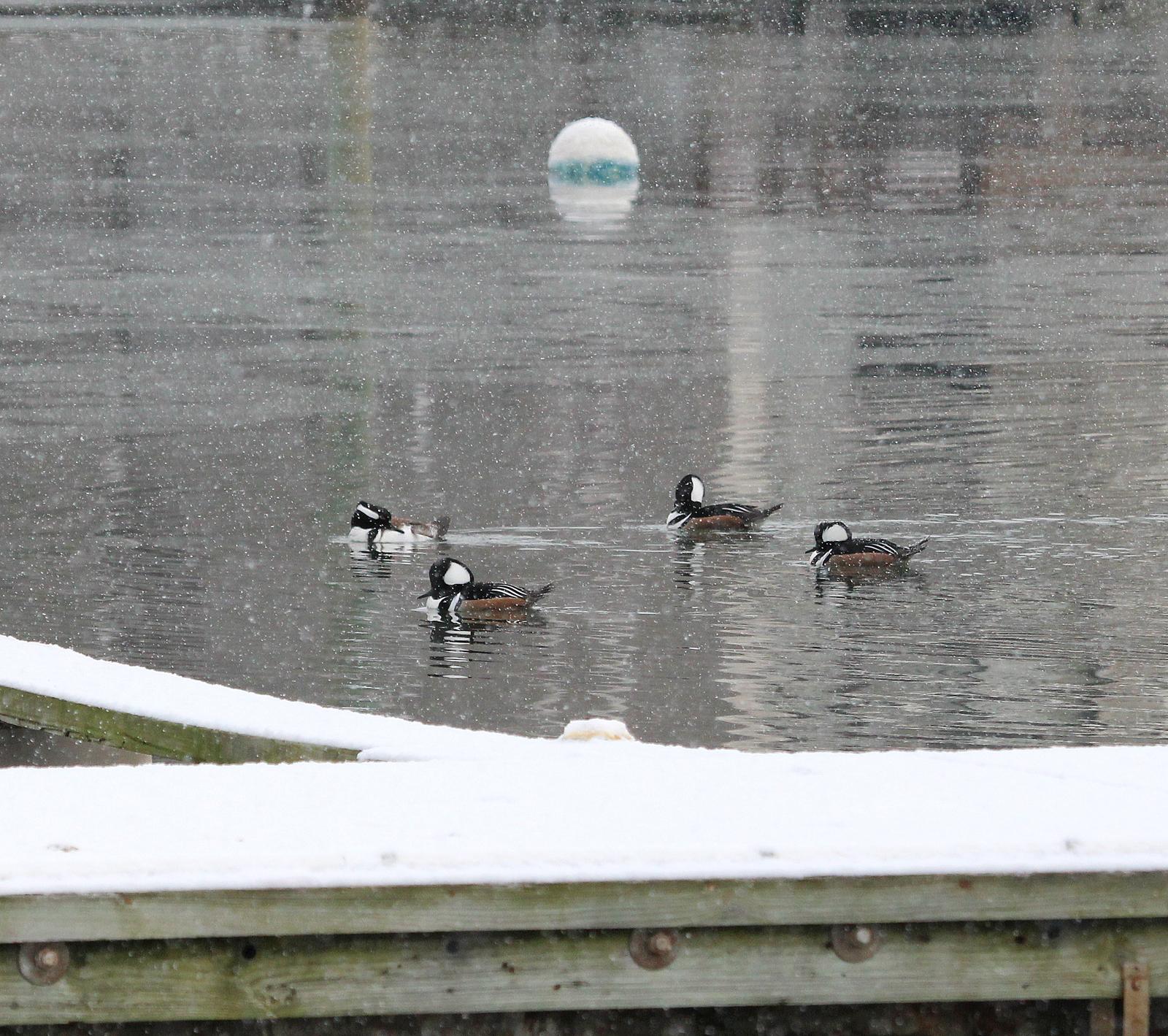 Photo by Chris Bosak Four male Hooded Mergansers swim in Norwalk Harbor near Veterans Park in Norwalk, Conn., Jan. 2015.