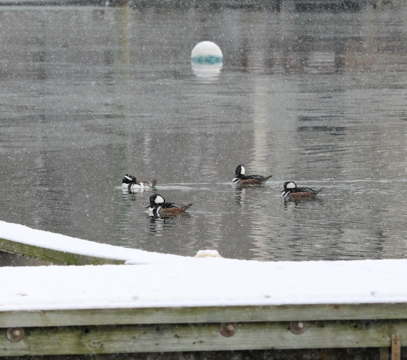 Photo by Chris Bosak Four male Hooded Mergansers swim in Norwalk Harbor near Veterans Park in Norwalk, Conn., Jan. 2015.