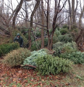 Christmas trees for repurposing at Cove Island Park in Stamford, Ct.