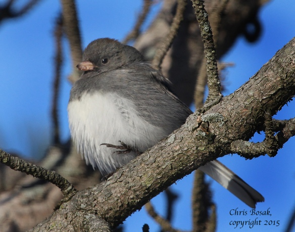 Photo by Chris Bosak A Dark-eyed Junco perches in a  tree at Weed Beach in Darien, Conn., in Jan. 2015.