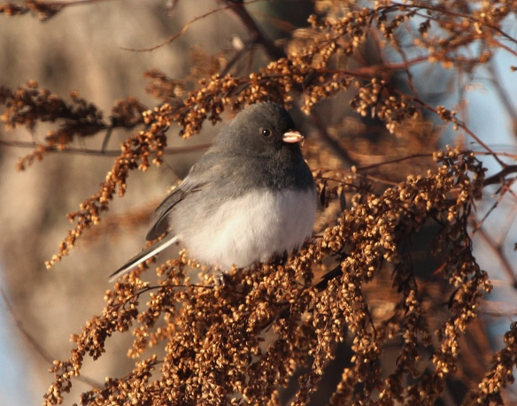 Photo by Chris Bosak A junco perches on a dried up plant at Weead Beach in Darien, Conn., in Jan. 2015.