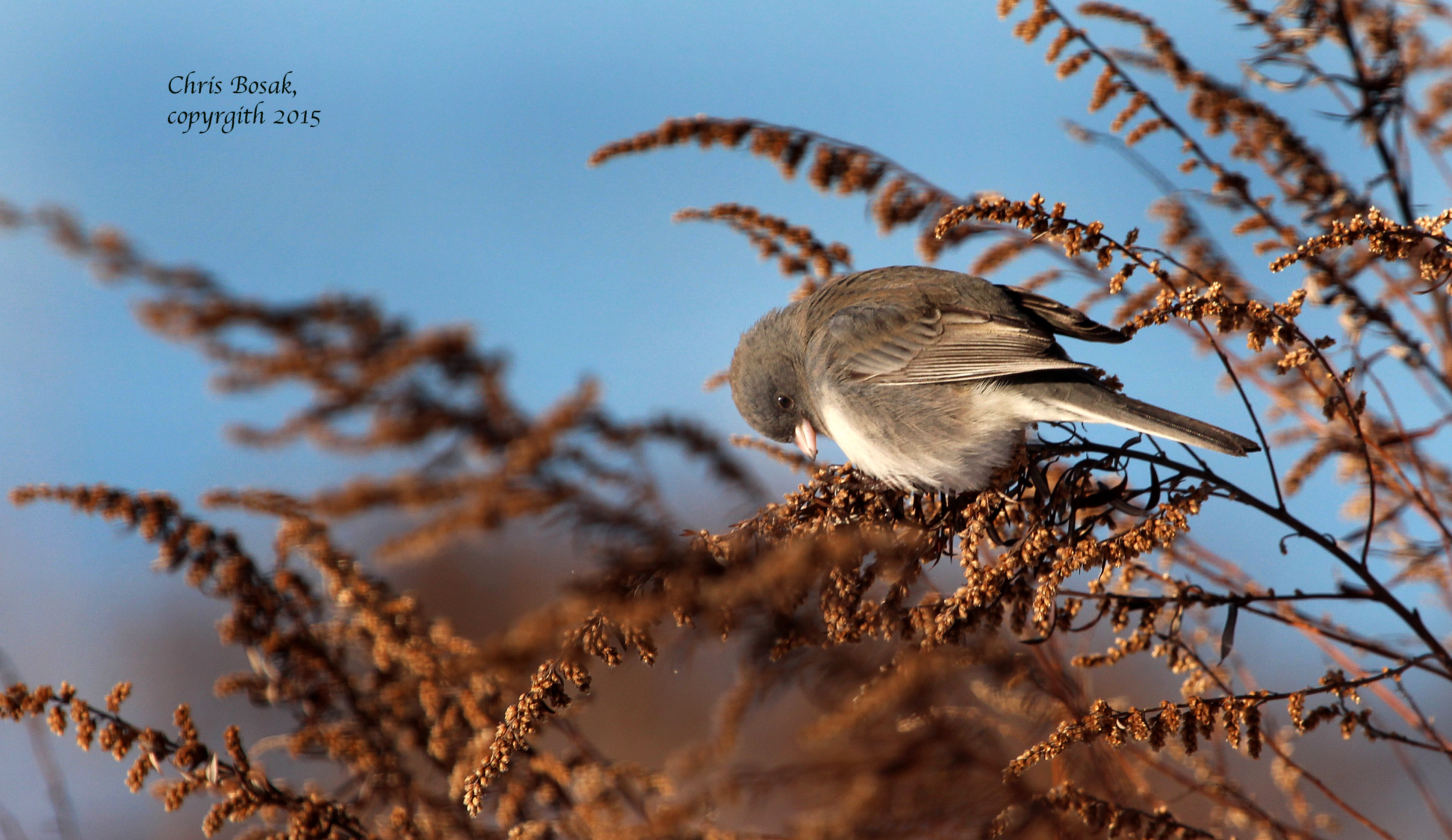 Photo by Chris Bosak A junco looks for seeds on a dried up plant at Weed Beach in Darien, Conn., in Jan. 2015.
