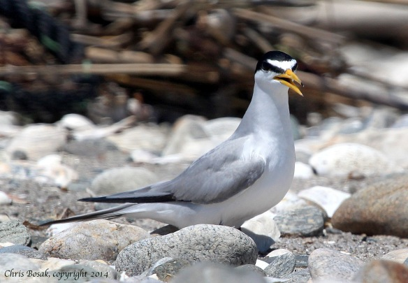 Photo by Chris Bosak A Least Tern sits among the rocks at the beach at Connecticut Audubon's Coastal Center at Milford Point in spring 2014.