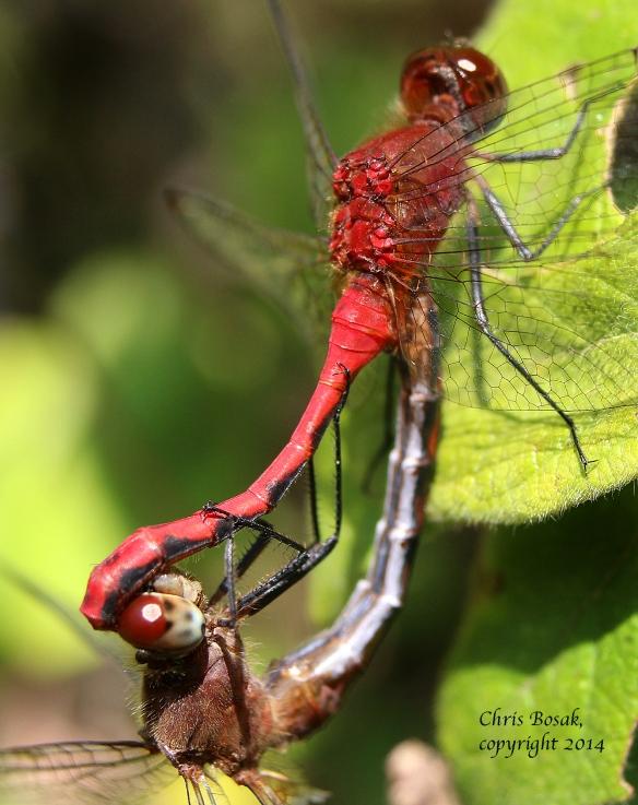 Photo by Chris Bosak Meadowhawk dragonflies mate in Selleck's/Dunlap Wood in summer 2014.