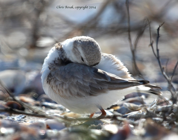 Photo by Chris Bosak A Piping Plover preens on the beach at Milford Point, Conn., in April 2014.