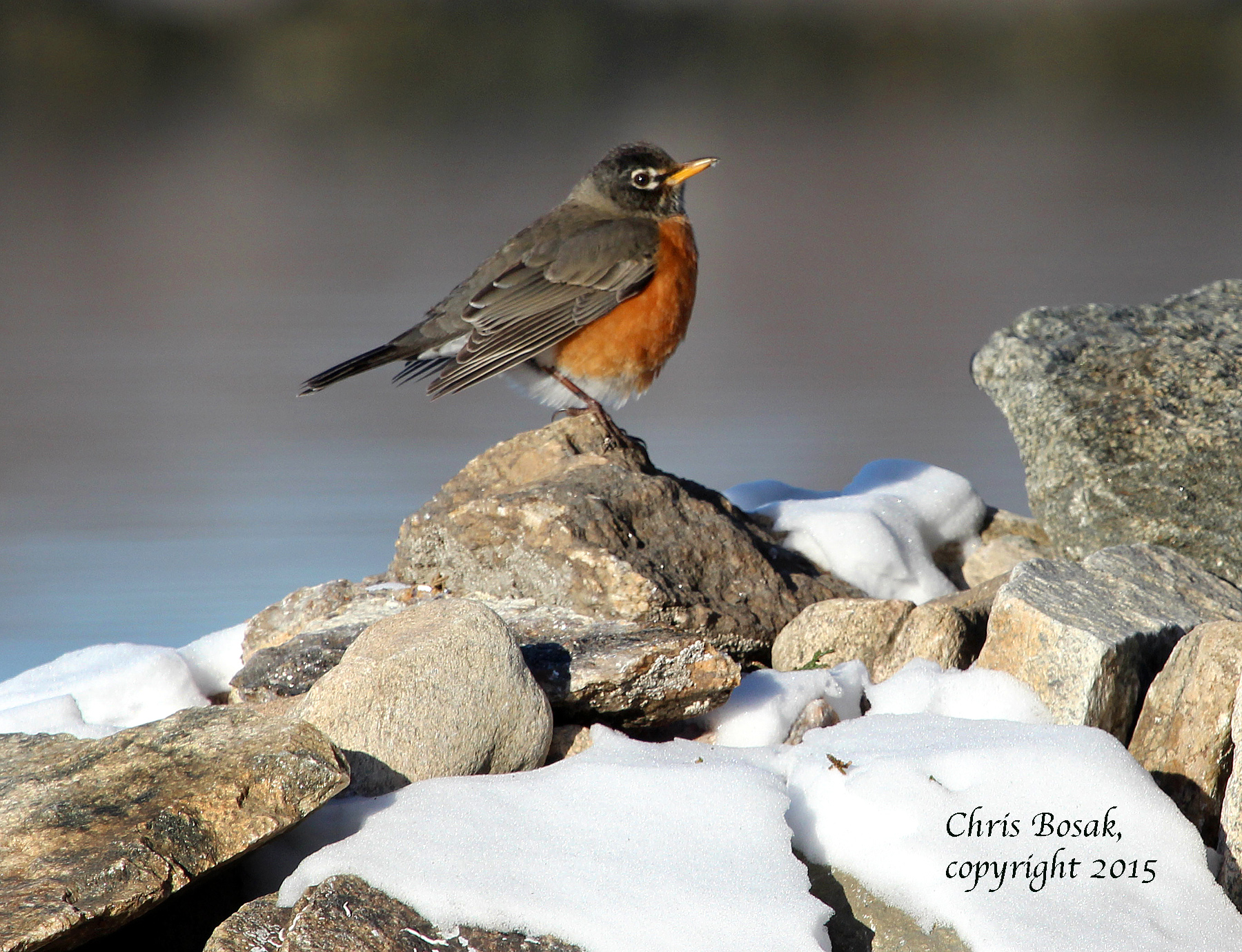 Photo by Chris Bosak An American Robin perches on a rock at Weed Beach in Darien, Conn., in Jan. 2015.
