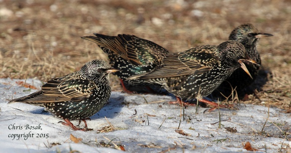 Photo by Chris Bosak A group of European Starlings look for food among the snow at Weed Beach in Darien, Conn., in Jan. 2015.