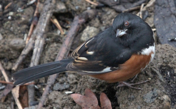 Photo by Chris Bosak An Eastern Towhee searches a garden for food in Jan. 2015.