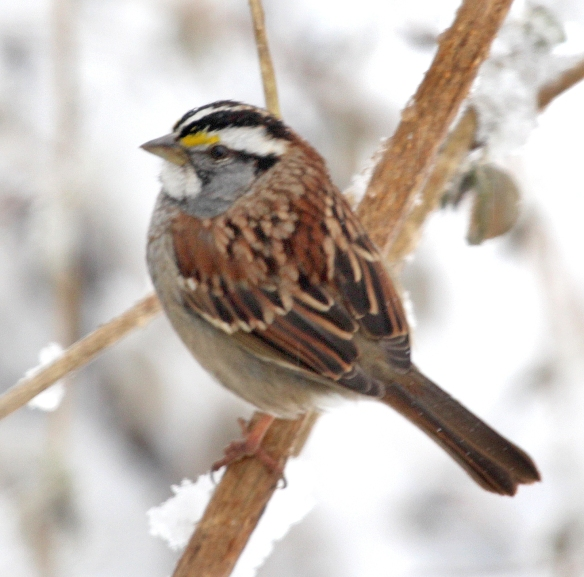 Photo By Chris Bosak White-throated Sparrow near feeder astation in New England, Jan. 2015.