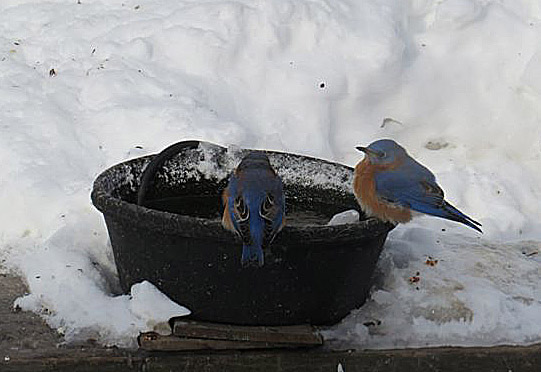 Elena from Winchester, N.H., got this shot of Eastern Bluebirds at her warm-water birdbath during the cold snap of Feb. 2015.